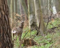 Roe deer with antler walking and grazing grass inside the forest. Young small roe deer with antler walking the meadow close up stock image