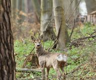 Roe deer with antler walking and grazing grass inside the forest. Young small roe deer with antler walking the meadow close up royalty free stock photos