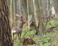 Roe deer with antler walking and grazing grass inside the forest royalty free stock photography