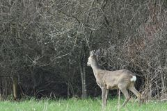 Roe deer with antler walking and grazing grass inside the forest. Young small roe deer with antler walking the meadow close up royalty free stock images
