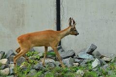 Roe deer with antlers walking on the rock hill. Roe deer walking near the people residence stock images