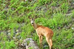 Roe deer with antlers walking on the rock hill. Roe deer walking near the people residence stock image