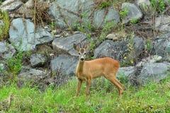 Roe deer with antlers walking on the rock hill. Roe deer walking near the people residence stock photo