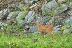 Roe deer with antlers walking on the rock hill. Roe deer walking near the people residence stock photography