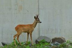 Roe deer with antlers walking on the rock hill. Roe deer walking near the people residence royalty free stock photo