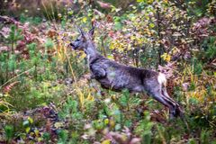 Roe deer in autumn forest Royalty Free Stock Image