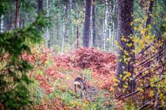 Roe deer in autumn forest stock photos