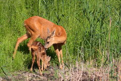Roe-deer with baby. Roe-deer baby mammal forest the wood wildlife field meadow grass animal animals green summer horn horns Stock Photography
