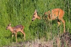 Roe-deer with baby. Roe-deer baby mammal forest the wood wildlife field meadow grass animal animals green summer horn horns Royalty Free Stock Photography