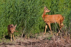 Roe-deer with baby Royalty Free Stock Photo