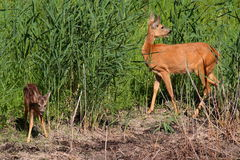 Roe-deer with baby. Roe-deer baby mammal forest the wood wildlife field meadow grass animal animals green summer horn horns Royalty Free Stock Images