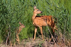 Roe-deer with baby Stock Photography