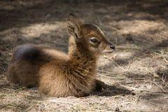 Roe deer baby. Lying roe deer baby in the zoo royalty free stock images