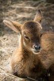 Roe deer baby. Lying roe deer baby in the zoo stock images