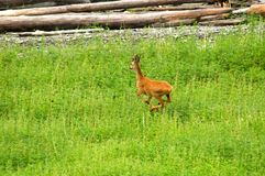 Roe deer on a background of green grass Royalty Free Stock Images
