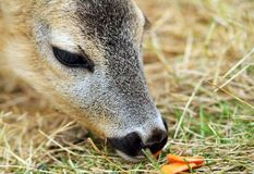 Roe deer being fed with carrots Stock Image
