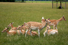 Roe Deer Bevy. A bevy of row deer relaxing in the grass royalty free stock photos