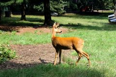 Roe deer Stock Photo