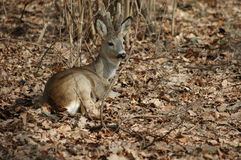 Roe deer buck. Lying roe deer buck in the forest stock photo