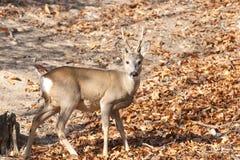Roe Deer Buck Stock Image