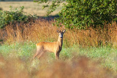 Roe deer buck Stock Image