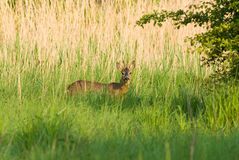 Roe Deer buck Royalty Free Stock Photography