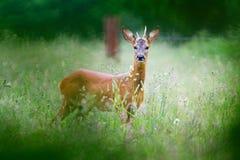 Free Roe Deer Buck Royalty Free Stock Photos - 93703228
