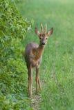 Roe deer buck stock images