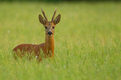 Roe deer buck in buckwheat Stock Photo