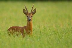 Roe deer buck in buckwheat. Roe deer buck standing in buckwheat field Stock Photo