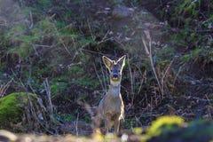Roe Deer Buck dans le contre-jour Image libre de droits
