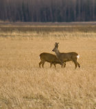 Roe Deer buck with doe Stock Photo