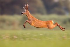 Roe deer buck jumping high in summer nature while running fast. Roe deer buck, capreolus capreolus, jumping high in summer nature while sprinting. Wild animal stock photography
