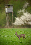 Roe deer buck in long grass with hunters high seat in the backgr Stock Photography