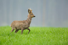 Roe deer buck in long grass Stock Photography