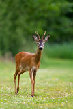 Roe deer buck Royalty Free Stock Photography