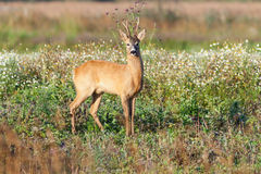 Roe deer buck Royalty Free Stock Photo