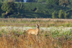 Roe deer buck Stock Images