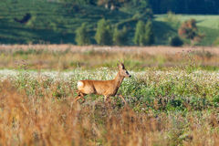 Roe deer buck Royalty Free Stock Photos
