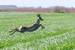 Roe Deer Buck salta no campo de trigo Animais selvagens dos cervos de ovas imagem de stock royalty free