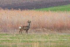 Roe Deer Buck selvagem em um campo fotos de stock royalty free
