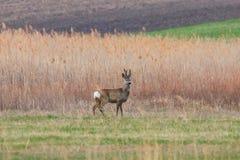 Roe Deer Buck selvaggio in un campo fotografia stock