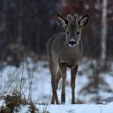 A roe deer, Capreolus capreolus buck showing a pointed tongue. For the photographer, in fine falling snow in a wintery Sweden royalty free stock image