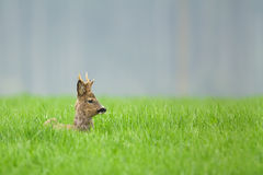 Roe deer buck sitting in long grass Royalty Free Stock Photography