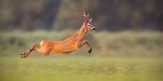 Roe deer buck sprinting fast in summer royalty free stock photo