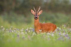 Roe deer buck in summer between flowers in nature. Roe deer, capreolus capreolus, buck in summer between flowers in nature. Wild animal in natural environment stock images
