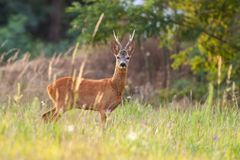 Roe deer buck in summer on a meadow with tall grass stock photography