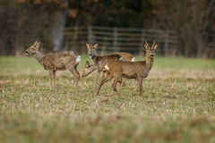 Roe deer buck and three females Stock Photography