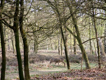 Roe deer buck between trees, Netherlands Stock Photo