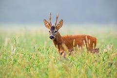 Roe deer buck walking in tall grass in summer stock images